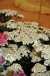 New Vintage White Yarrow (Achillea millefolium 'Balvinwite') at Ritchie Feed & Seed Inc.