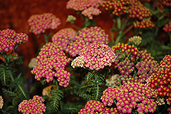 New Vintage Rose Yarrow (Achillea millefolium 'Balvinrose') at Ritchie Feed & Seed Inc.