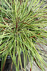 Burgundy Bunny Dwarf Fountain Grass (Pennisetum alopecuroides 'Burgundy Bunny') at Ritchie Feed & Seed Inc.