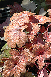 Brass Lantern Foamy Bells (Heucherella 'Brass Lantern') at Ritchie Feed & Seed Inc.