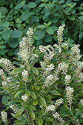 Hummingbird Summersweet (Clethra alnifolia 'Hummingbird') at Ritchie Feed & Seed Inc.