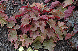 Carnival Watermelon Coral Bells (Heuchera 'Watermelon') at Ritchie Feed & Seed Inc.