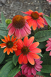 Sombrero® Hot Coral Coneflower (Echinacea 'Balsomcor') at Ritchie Feed & Seed Inc.