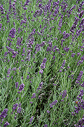 SuperBlue Lavender (Lavandula angustifolia 'SuperBlue') at Ritchie Feed & Seed Inc.