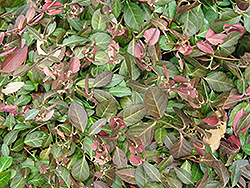 Purpleleaf Wintercreeper (Euonymus fortunei 'Coloratus') at Ritchie Feed & Seed Inc.