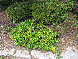 Surespot Wintercreeper (Euonymus fortunei 'Surespot') at Ritchie Feed & Seed Inc.