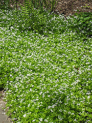 Sweet Woodruff (Galium odoratum) at Ritchie Feed & Seed Inc.