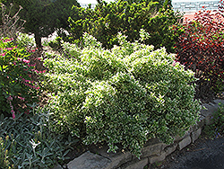 Emerald Gaiety Wintercreeper (Euonymus fortunei 'Emerald Gaiety') at Ritchie Feed & Seed Inc.