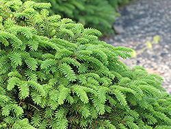 Birds Nest Spruce (Picea abies 'Nidiformis') at Ritchie Feed & Seed Inc.