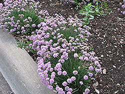 Juniper-Leaved Sea Thrift (Armeria juniperifolia) at Ritchie Feed & Seed Inc.