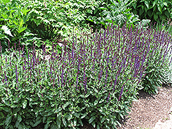 Caradonna Sage (Salvia x sylvestris 'Caradonna') at Ritchie Feed & Seed Inc.