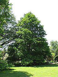 Katsura Tree (Cercidiphyllum japonicum) at Ritchie Feed & Seed Inc.
