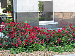 Flower Carpet Red Rose (Rosa 'Flower Carpet Red') at Ritchie Feed & Seed Inc.