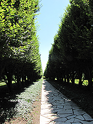 Pyramidal European Hornbeam (Carpinus betulus 'Fastigiata') at Ritchie Feed & Seed Inc.