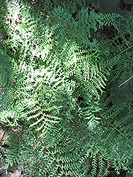 Male Fern (Dryopteris filix-mas) at Ritchie Feed & Seed Inc.