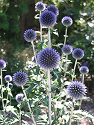 Veitch's Blue Globe Thistle (Echinops ritro 'Veitch's Blue') at Ritchie Feed & Seed Inc.
