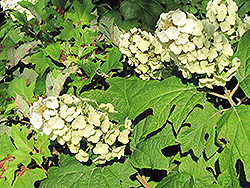 Snow Queen Hydrangea (Hydrangea quercifolia 'Snow Queen') at Ritchie Feed & Seed Inc.