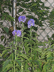 Autumn Monkshood (Aconitum carmichaelii 'Arendsii') at Ritchie Feed & Seed Inc.