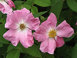 Rugosa Rose (Rosa rugosa) at Ritchie Feed & Seed Inc.