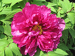Shimadaijin Tree Peony (Paeonia suffruticosa 'Shimadaijin') at Ritchie Feed & Seed Inc.