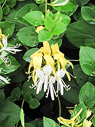 Hall's Japanese Honeysuckle (Lonicera japonica 'Halliana') at Ritchie Feed & Seed Inc.