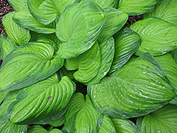 Guacamole Hosta (Hosta 'Guacamole') at Ritchie Feed & Seed Inc.