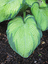 Color Glory Hosta (Hosta 'Color Glory') at Ritchie Feed & Seed Inc.