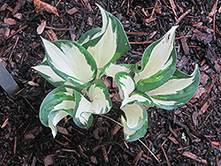 Christmas Candy Hosta (Hosta 'Christmas Candy') at Ritchie Feed & Seed Inc.