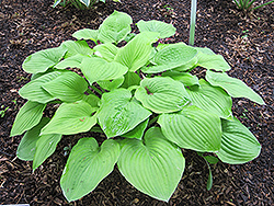 August Moon Hosta (Hosta 'August Moon') at Ritchie Feed & Seed Inc.