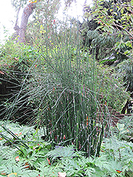 Horsetail (Equisetum hyemale) at Ritchie Feed & Seed Inc.