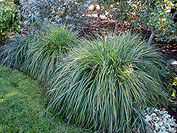 Moudry Fountain Grass (Pennisetum alopecuroides 'Moudry') at Ritchie Feed & Seed Inc.
