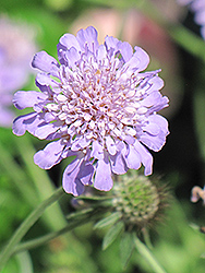 Butterfly Blue Pincushion Flower (Scabiosa 'Butterfly Blue') at Ritchie Feed & Seed Inc.