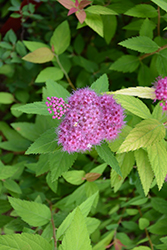 Double Play® Candy Corn® Spirea (Spiraea japonica 'NCSX1') at Ritchie Feed & Seed Inc.