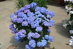 Let's Dance® Blue Jangles® Hydrangea (Hydrangea macrophylla 'SMHMTAU') at Ritchie Feed & Seed Inc.