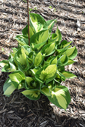 Whirlwind Hosta (Hosta 'Whirlwind') at Ritchie Feed & Seed Inc.