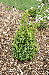 Green Mountain Boxwood (Buxus 'Green Mountain') at Ritchie Feed & Seed Inc.