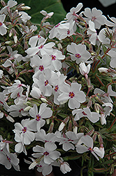 Amazing Grace Moss Phlox (Phlox subulata 'Amazing Grace') at Ritchie Feed & Seed Inc.