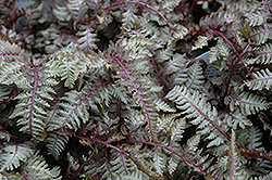 Regal Red Painted Fern (Athyrium nipponicum 'Regal Red') at Ritchie Feed & Seed Inc.