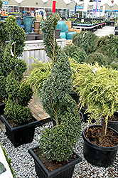Green Mountain Boxwood (spiral form) (Buxus 'Green Mountain (spiral)') at Ritchie Feed & Seed Inc.