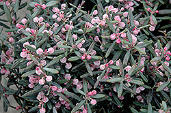 Blue Ice Bog Rosemary (Andromeda polifolia 'Blue Ice') at Ritchie Feed & Seed Inc.