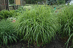 Porcupine Grass (Miscanthus sinensis 'Strictus') at Ritchie Feed & Seed Inc.