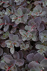 Sunset Cloud Stonecrop (Sedum 'Sunset Cloud') at Ritchie Feed & Seed Inc.