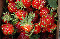 Allstar Strawberry (Fragaria 'Allstar') at Ritchie Feed & Seed Inc.