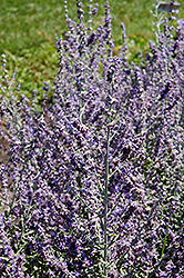 Rocketman Russian Sage (Perovskia atriplicifolia 'Rocketman') at Ritchie Feed & Seed Inc.