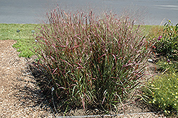 Prairie Fire Red Switch Grass (Panicum virgatum 'Prairie Fire') at Ritchie Feed & Seed Inc.