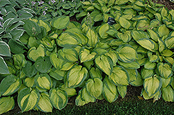 Paradigm Hosta (Hosta 'Paradigm') at Ritchie Feed & Seed Inc.