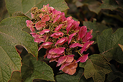 Ruby Slippers Hydrangea (Hydrangea quercifolia 'Ruby Slippers') at Ritchie Feed & Seed Inc.