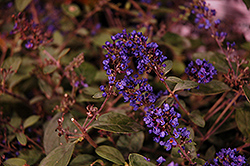 Lo And Behold® Blue Chip Junior Dwarf Butterfly Bush (Buddleia 'Lo And Behold Blue Chip Junior') at Ritchie Feed & Seed Inc.