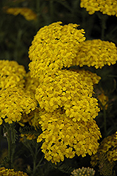 Desert Eve™ Yellow Yarrow (Achillea millefolium 'Desert Eve Yellow') at Ritchie Feed & Seed Inc.