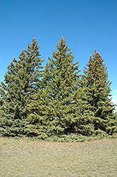 White Spruce (Picea glauca) at Ritchie Feed & Seed Inc.